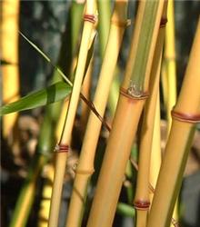 Phyllostachys aureosulcata f. aureocaulis