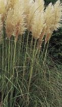 Cortaderia selloana 'White Feather'