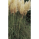 Cortaderia selloana 'White Feather'
