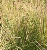 Deschampsia cespitosa 'Goldtau'
