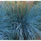 Festuca glauca &#x27;Elijah Blue&#x27;