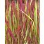 Imperata cylindrica Rubra 'Red Baron Blood Grass'