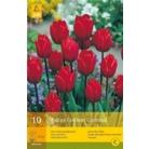 Tulip 'Couleur Cardinal'