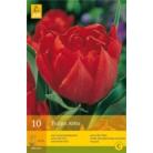 Tulip 'Abba'