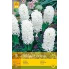 Hyacinth 'Carnegie'