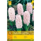 Hyacinth 'China Pink'