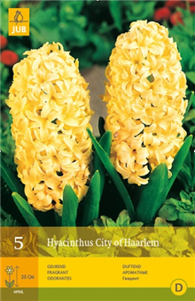Hyacinth 'City of Haarlem'