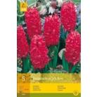 Hyacinth 'Jan Bos'