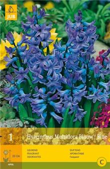 Hyacinth 'Multifora Blue'