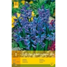 Hyacinth 'Multifora Blue'