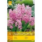 Hyacinth 'Multiflora Pink'