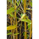 Phyllostachys aurea