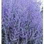 Perovskia 'Blue Spire'