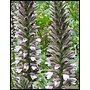 Acanthus spinosus 'Bear's breeches'