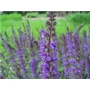 Salvia nemorosa Ostfriesland 'Sage'