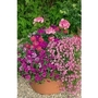 Pink Container Plant Collection