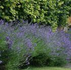 Lavandula angustifolia 'Munstead' (lavender)