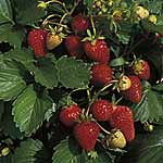 Strawberry F1 Sarian Seeds