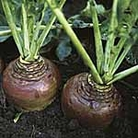 Swede Invitation Seeds