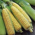 Sweet Corn F1 Swift Seeds