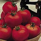 Tomato Moneymaker Seeds