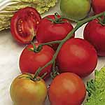 Tomato F1 Shirley Seeds
