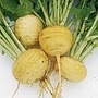 Turnip Golden Ball Seeds