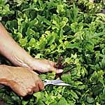Speedy Veg Seed - Leaf Salad Lettuce Mix