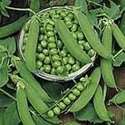 Pea Ambassador Seeds
