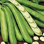 Bean (Broad) Seeds - Witkiem Manita