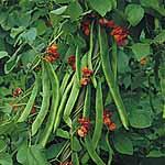 Bean (Runner) Seeds - Butler