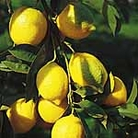 Citrus Tree - Lemon Eureka