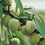 Almond - Sweet Almond Mandaline