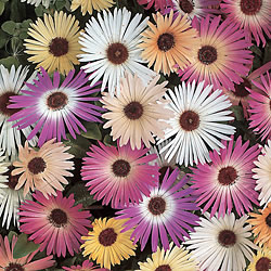 Livingstone Daisy Mixed Seeds