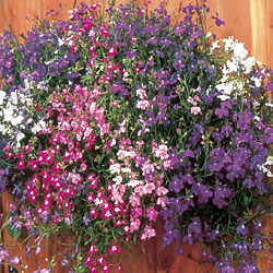Lobelia Long Flowering Mix Seeds