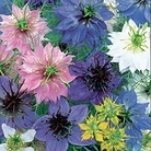 Love In A Mist Allsorts Seeds