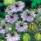 Love In A Mist Miss Jekyll Seeds
