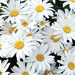 Marguerite Paris White Seeds