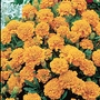 Marigold Orange Winner (French) Seeds