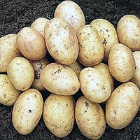 Potato : Christmas New Potato : Carlingford 5 tuber net