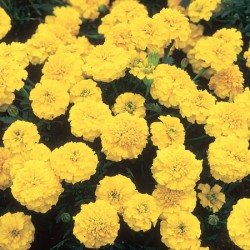 Marigold Yellow Jacket (French) Seeds