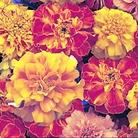 Marigold Marionette Seeds