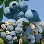 Blueberry Full Season Collection 3 plants in 1.5l pots - 1 of each variety