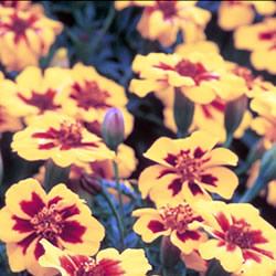 Marigold Naughty Marietta (French) Seeds