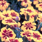 Marigold Naughty Marietta (French) Seeds