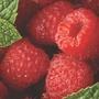 Raspberry 'Polka' 12 canes