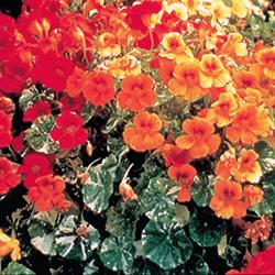 Nasturtium Alaska Mixed Seeds