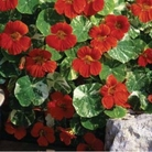 Nasturtium Tall Mixed (Trailing) Seeds