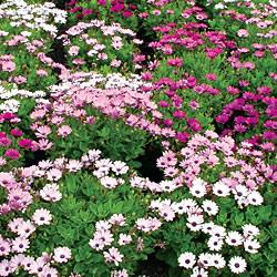 Osteospermum Pink Fizz  Seeds