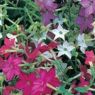 Nicotiana Sensation Mixed Seeds